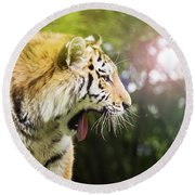 Siberian Tiger In Sunlit Forest Round Beach Towel