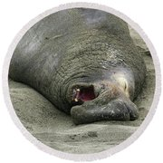 Snoring Elephant Seal Round Beach Towel