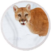 Round Beach Towel featuring the photograph Snowy Cougar by Steve McKinzie