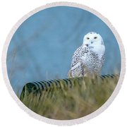 Snowy Owl On A Park Bench Round Beach Towel