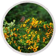 Song Sparrow Bird On Blooming Scotch Round Beach Towel by Panoramic Images