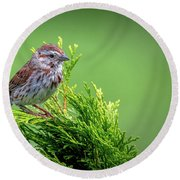 Song Sparrow Perched - Melospiza Melodia Round Beach Towel