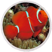 Spinecheek Clownfish Round Beach Towel