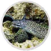 Spotted Moray Eel Round Beach Towel by Amy McDaniel