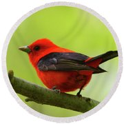 Spring Flame - Scarlet Tanager Round Beach Towel