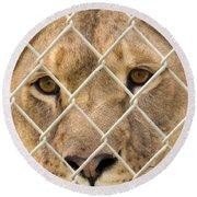 Staring Lioness Round Beach Towel