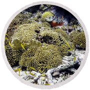 Round Beach Towel featuring the photograph Stoplight Parrotfish And Yellow Chromis by Perla Copernik