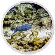 Round Beach Towel featuring the photograph Stoplight Parrotfish  by Perla Copernik