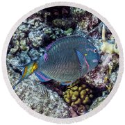 Round Beach Towel featuring the photograph Stoplight Parrotfish Terminal Phase by Perla Copernik