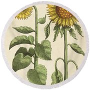 Sunflowers Illustration From Florilegium Round Beach Towel