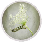 Swallowtail Caterpillar On Queen Anne's Lace Round Beach Towel by Louise Kumpf