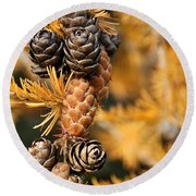 Tamarack Larch Tree In The Fall  Round Beach Towel