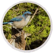Texas Scrub Jay  Round Beach Towel
