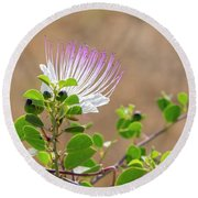 The  Caper Flower Blossoms. Round Beach Towel