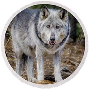 Round Beach Towel featuring the photograph The Great Gray Wolf by Teri Virbickis