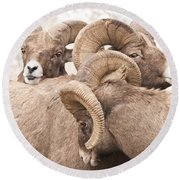 Three Bighorn Rams Round Beach Towel