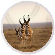 Three Male Pronghorn Antelopes In Alberta Round Beach Towel
