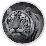 Tiger In The Grass Round Beach Towel by Darcy Michaelchuk