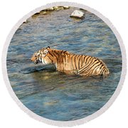 Tiger In The Water Round Beach Towel by Pravine Chester