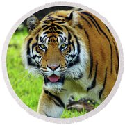 Tiger The Stare Round Beach Towel by Larry Nieland