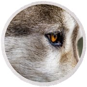 Round Beach Towel featuring the photograph Timber Wolf Stare by Teri Virbickis