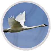 Trumpeter Swan In Flight Round Beach Towel
