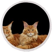 Two Ginger Maine Coon Cat On Black Round Beach Towel