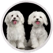 Two Happy White Maltese Dogs Sitting, Looking In Camera Isolated Round Beach Towel