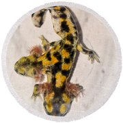 Two-headed Near Eastern Fire Salamande Round Beach Towel by Shay Levy