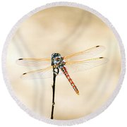 Round Beach Towel featuring the photograph Varigated Meadowhawk Dragonfly Sympetrum Corruptum by Frank Wilson