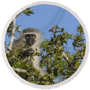 Vervet Monkey Perched In A Treetop Round Beach Towel