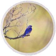 Western Bluebird On Bare Branch Round Beach Towel