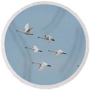 Whistling Swan In Flight Round Beach Towel