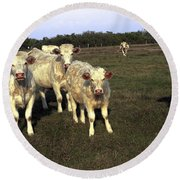 Round Beach Towel featuring the photograph White Cows by Sally Weigand