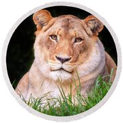 Round Beach Towel featuring the photograph White Lion by Alexey Stiop