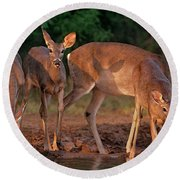 Whitetail Deer At Waterhole Texas Round Beach Towel