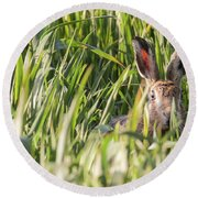 Wild Hare In Crops Looking At Camera Round Beach Towel