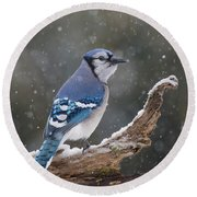 Round Beach Towel featuring the photograph Winter Jay by Mircea Costina Photography