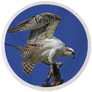 Yearling Osprey Round Beach Towel
