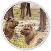 Round Beach Towel featuring the photograph Yearlings by Jeff Swan