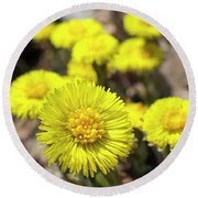 Round Beach Towel featuring the photograph Yellow Coltsfoot Flowers by Christina Rollo