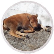 Yellowstone Bison Calf  Round Beach Towel