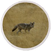 Round Beach Towel featuring the photograph Yellowstone Coyote by Sue Smith