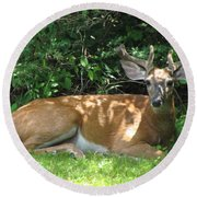 Round Beach Towel featuring the photograph Young Buck Lying In The Shade by Betty Pieper