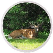 Round Beach Towel featuring the photograph Young Buck Resting In The Shade by Betty Pieper