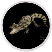 Young Cayman Crocodile, Reptile With Opened Mouth And Waved Tail Isolated On Black Background In Top Round Beach Towel by Sergey Taran