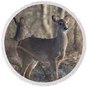 Young Deer In A Pack Round Beach Towel