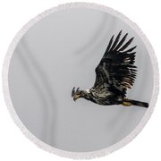 Round Beach Towel featuring the photograph Young Eagle In Flight 07 by Timothy Latta