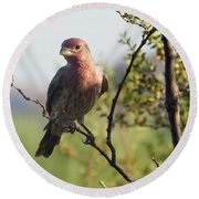 Young Male House Finch Round Beach Towel