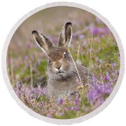 Young Mountain Hare In Purple Heather Round Beach Towel
